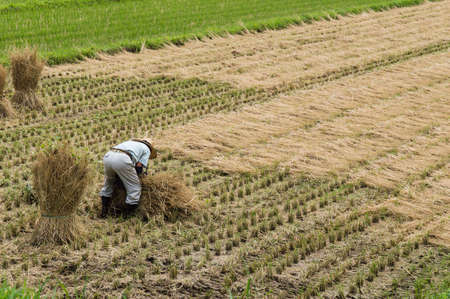 japanes: Japanes Farmer working in a Rice Field Stock Photo