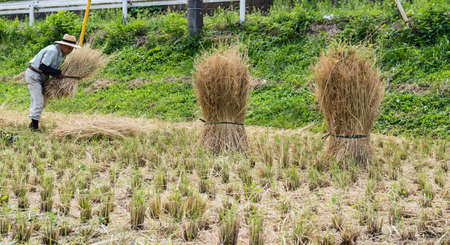 japanes: Japanes Farmer working in a Rice Field Editorial