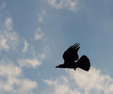 corvus: a raven in flight