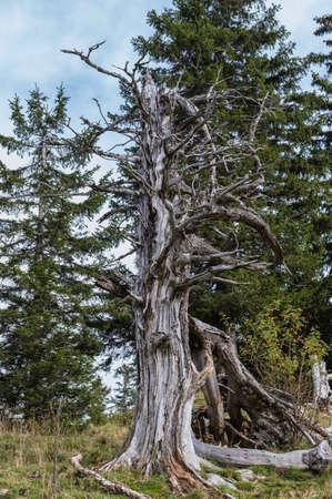 tree dead: Alta latitudine albero morto.