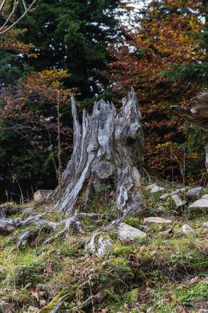 arbre mort: Haute latitude arbre mort. Banque d'images