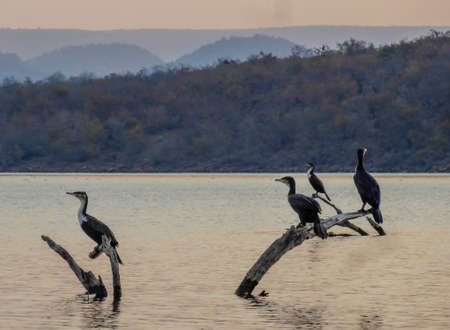 lake naivasha: Cormorants Stock Photo