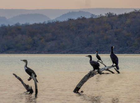 cormorants: Cormorants Stock Photo