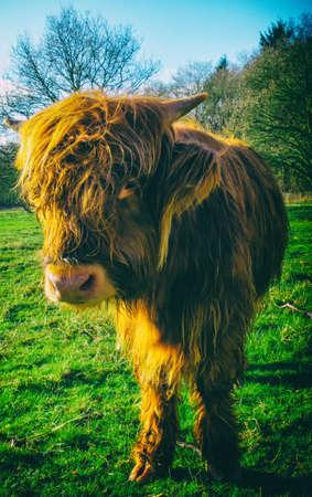 highlands region: Famous Scottish cattle; highland cow