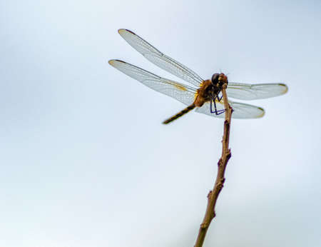 dropwing: Dragon fly on a branch