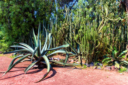 no water: A Mexican Garden with a variety of arid plants and trees. A beautiful way to conserve water. Agave,Saguaro,cactus and trees.