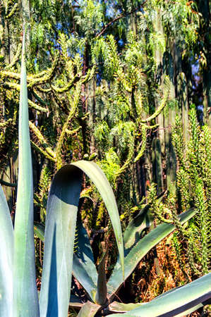 water conservation: A Mexican Garden with a variety of arid plants and trees. A beautiful way to conserve water. Agave,Saguaro,cactus and trees.