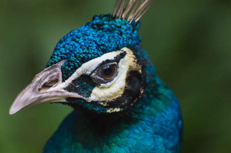 blue peafowl: Close up image of a blue male peacock or peafowl showing just its head and neck with a blurred background. Stock Photo