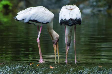 egrets: White Egrets feeding