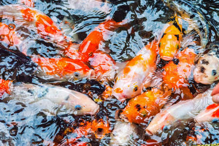 Koi carp, symbols of good luck and prosperity in Japan photo