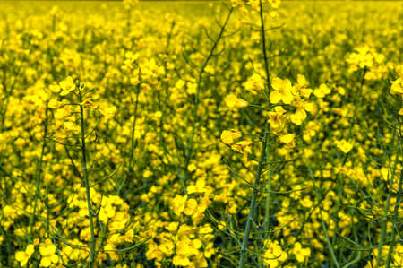 brassica: Flowering rapeseed, Brassica napus, on a field of rape in spring Stock Photo