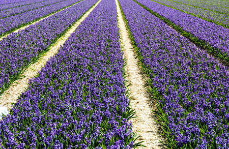 Field of Purple Hyacinth With Tulip Fields in the Background Stock Photo