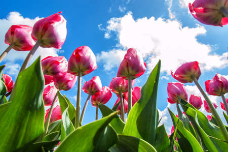 Beautiful tulips shot from low angle photo