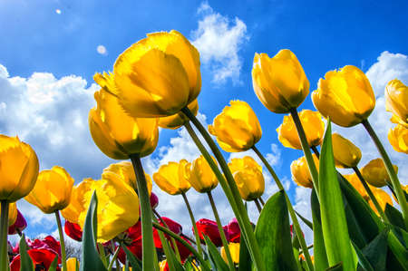 Tulpen in de lente, op een zonnige dag, Noord-Holland, Nederland Stockfoto