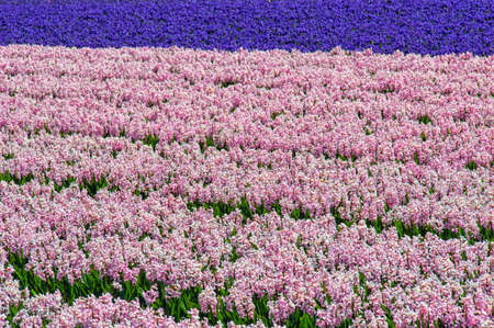 bridget calip: Field of Purple Hyacinth With Tulip Fields in the Background Stock Photo