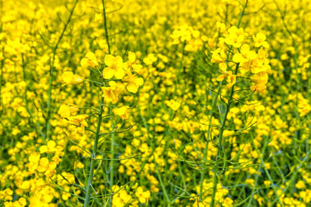 rapaseed: Flowering rapeseed, Brassica napus, on a field of rape in spring Stock Photo