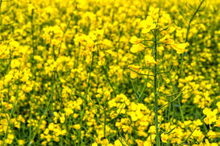 napus: Flowering rapeseed, Brassica napus, on a field of rape in spring Stock Photo