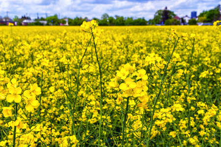 rappi: Flowering rapeseed, Brassica napus, on a field of rape in spring Stock Photo