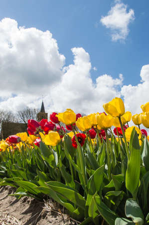 north holland: Tulips in Springtime, on a sunny day, North Holland, The Netherlands