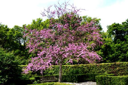 redbud: redbud, judas tree in a formal garden Stock Photo