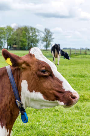 grazing land: Side view of a cows head, outside in grazing land Stock Photo