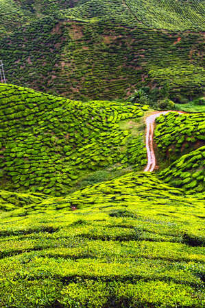 cameron highlands: Tea plantation in Cameron highlands, Malaysia