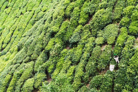 cameron highlands: Working on the tea plantation in the Cameron Highlands, Malaysia Stock Photo