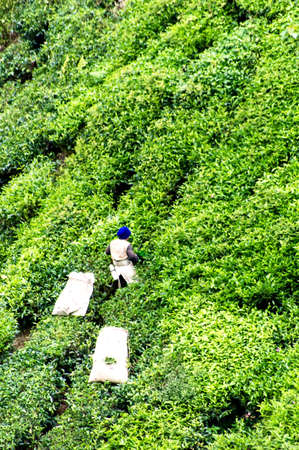 highlands region: Working on the tea plantation in the Cameron Highlands, Malaysia Stock Photo