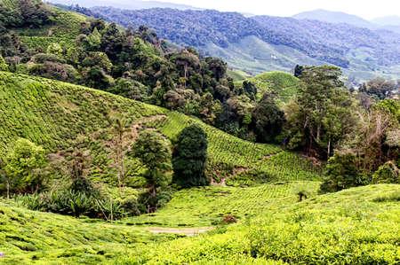 Tea plantation in Cameron highlands, Malaysia photo
