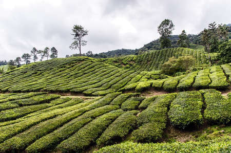 cameron highlands: Tea plantation in Cameron highlands, Malaysia