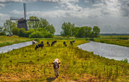 Typical Dutch Landscape with farm animals and windmill Фото со стока