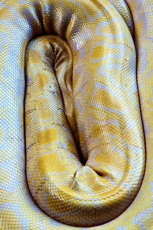 constrict: Beautiful Yellow Snake curled up background Stock Photo