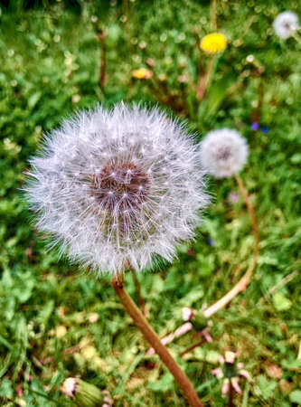 downy: downy dandelion on green blackground