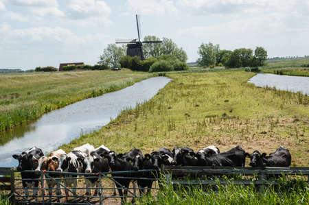 Curious cows behind a fence in a typical dutch landscape photo