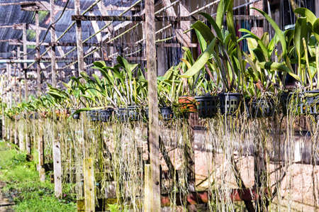 Orchid plantation farm in Thailand photo