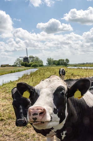 traditional windmill: Dutch cow in the meadow with traditional windmill in the background Stock Photo