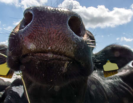 Funny closeup of a nosy cow The Netherlands photo
