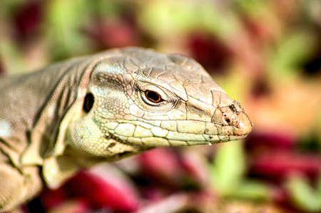 head close up: A Lizards head close up