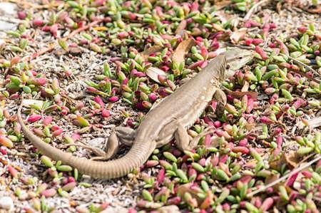 curacao: A Lizard in Curacao, Dutch Antilles