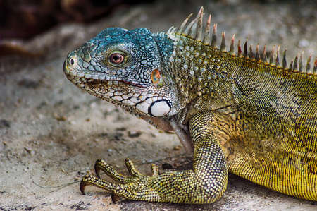 caribbean climate: Close up of a Marine Iguana
