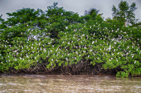 freshwater bird: Flock of White Egrits perched on trees.
