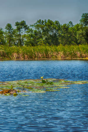 lily pads: A lagoon with water lily pads in the Matapica Swamps, Suriname, South America Stock Photo