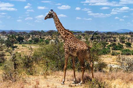 national park: Giraffe at Serengeti National Park, Tanzania Stock Photo