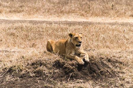 aciculum: Lioness resting at Ngorogoro Nature Reserve, Tanzania