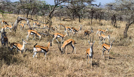 tanzania antelope: A Herd of female impala Stock Photo