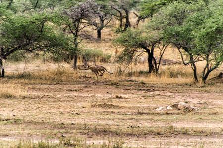 spotted fur: Sprinting Cheetah at Serengeti national park, tanzania