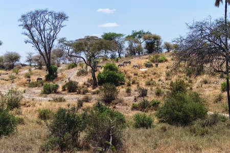 conservation grazing: Zebras Grazing at Serengeti National Park, Tanzania