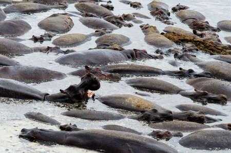 upperdeck view: Pool with hippos,Serengeti national park,Tanzania Stock Photo