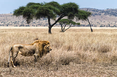 east africa: A  lion in Serengeti national park Tanzania East Africa.