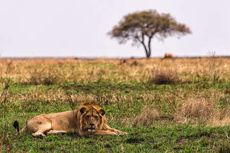 animal behavior: A Lion rests with Acacia tree in background